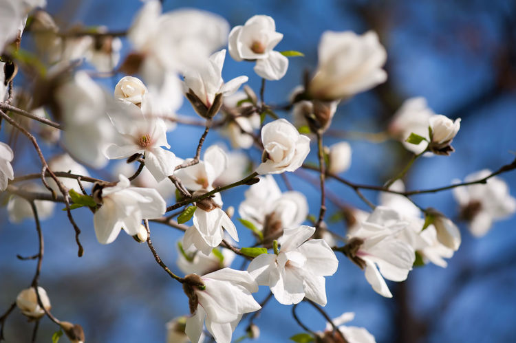 White Magnolia spring flowers bunch, lush flowering plant on blue sky growing in garden in Poland, horizontal orientation, nobody. Bloom Blooming Blossom Blossoming  Blossoms  Close-up Flower Flowering Flowers Magnolia Magnoliaceae Magnolias Nature No People Plant Spring Springtime Tree Twig White