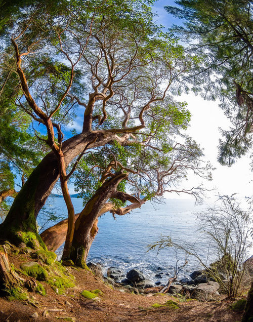 East Sooke Park, Vancouver Island Arbutus Tree Framed Madrona Tree Ocean View Path Brown Light And Shadow Tranquil Scene Water Wide Angle