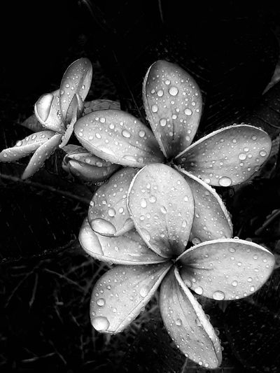 Flowers after the rain..... Close-up Nature Plant Beauty In Nature Flower Outdoors Flower Head Freshness INDONESIA Natgeotravel Splendid_shots Traveldiaries Travel Travel Photography Traveling Travelgram Wallpaper Background Flowerslovers Macroporn Flowers Of EyeEm Black And White Collection  Macro Art Macro_flower Flowerphotography Blackandwhite