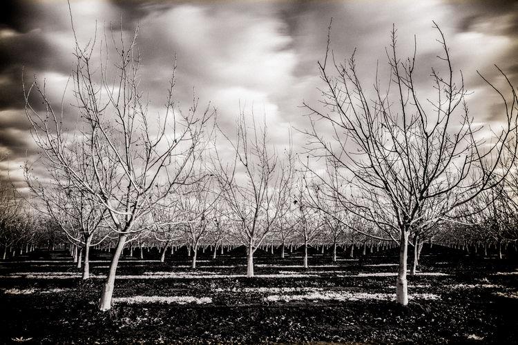 California California Dreamin Cloud - Sky Nature No People Sepia Sepia_collection Sky Symmetry Tree