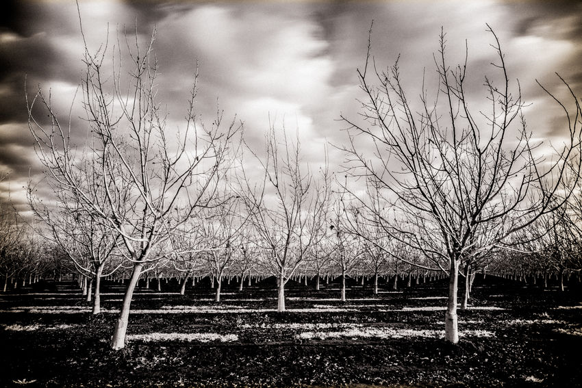 California California Dreamin Cloud - Sky Nature No People Sepia Sepia_collection Sky Symmetry Tree