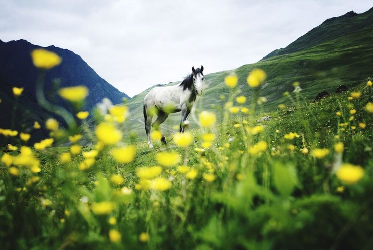 horse White Horses Walking White Horse nature Mountains Tushetian Horse tushrtia Tusheti Yellow Flower One Animal Nature Animal Springtime Fragility Cloud - Sky Beauty In Nature No People Yelow Flowers Georgia Georgian Nature Georgian Mountains Animal Wildlife Vitality Animals In The Wild Outdoors Beauty Mammal The Great Outdoors - 2017 EyeEm Awards