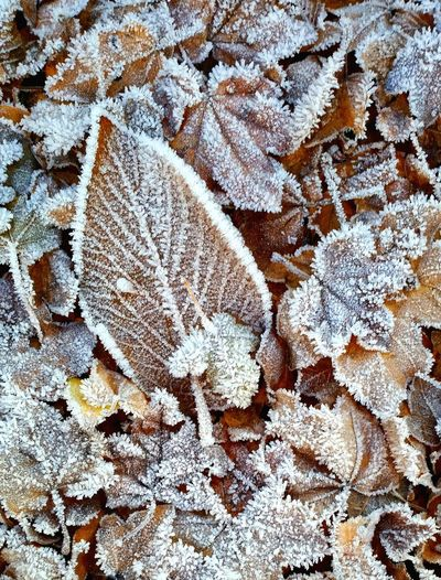 High Angle View Winter No People Backgrounds Nature Close-up Snow Large Group Of Objects Tree Day Outdoors Cold Temperature Frosted Leaves Beauty In Nature Frosty Nature Winter Winter Leaves Frosted Leaf