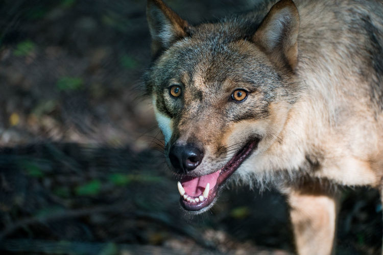 A wolf Animal Animal Themes Austria Canine Nature Nature_collection Outdoors Wilderness Wolf