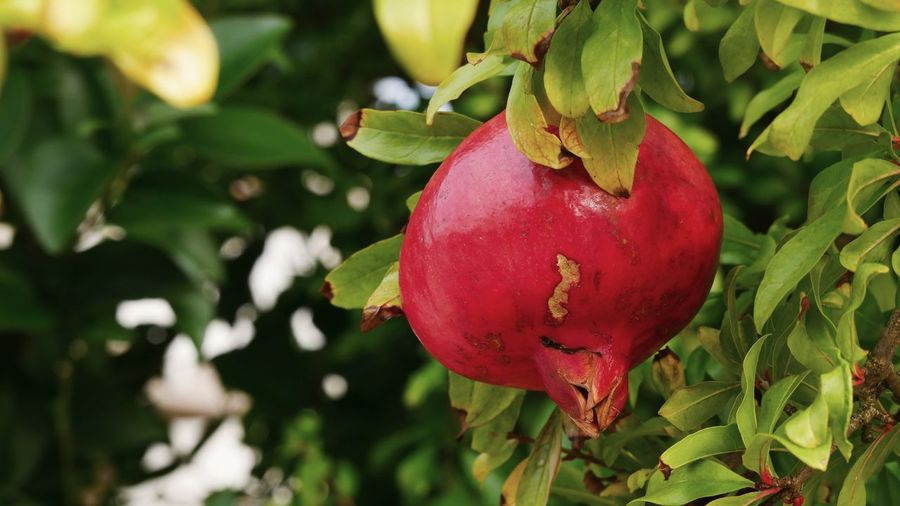 Close-up of red fruit on tree