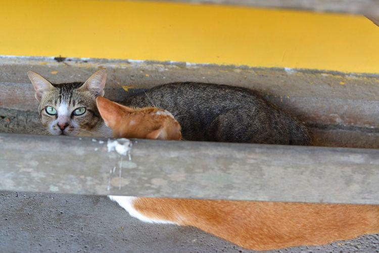 2 Cats Looking At Camera Lounging Cat Animals Cats Domestic Cat Feline Tabby Cat