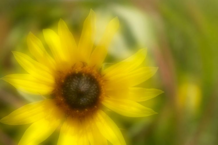 Asteraceae Bokeheffect Dreaming Flower Head Hard To Hold Onto Petal Selective Focus Single Flower Sunflower🌻 Yellow Yellow Flower
