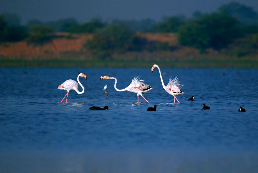 three flamingos are playing in shallow water lake in winter morning Beauty In Nature Birds India Nature India Migratory Birds Nature Wildlife Wild India Asian  Wildlife & Nature Animals In The Wild Group Of Animals Water Lake Flamingo Birds Of India Wild Birds Blue Water White Bird Winter Birds Shallow Water Pond Birds In Wild Morning Light Winter