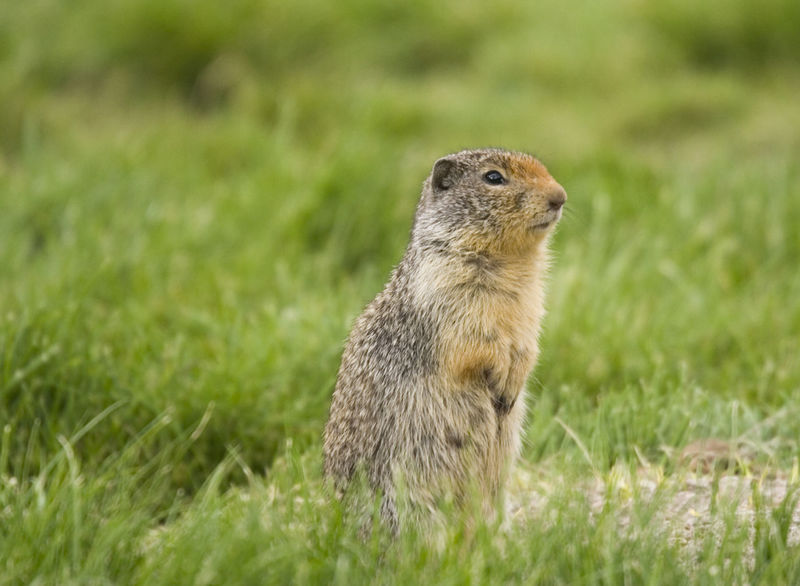 Columbian Ground Squirrel alerted - on a meadow Alertness Animal Wildlife Animals In The Wild British Columbia Canada Close-up Columbian Ground Squirrel Curiosity Cute Gopher  Grass Marmot Meadow Nature No People One Animal Outdoors Prairie Dogs Prairiedog Rodent Sitting Spermophilus Columbianus Squirrel Squirrel Wildlife