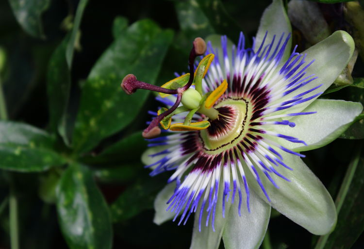 Close-Up Of Blue Crown Passion Flower