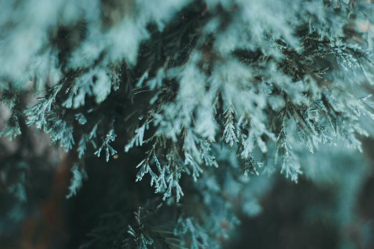 Close-up of pine tree in forest during winter