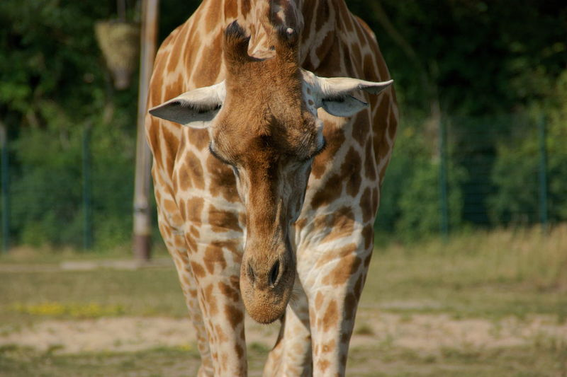 Who said that the giraffe's neck is long