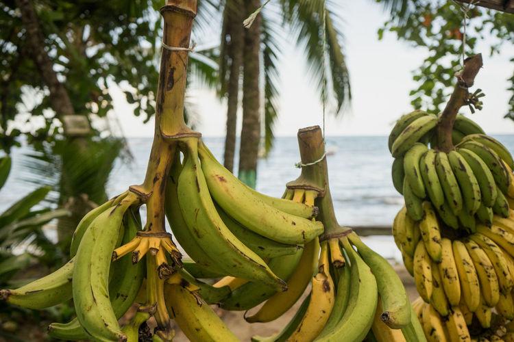 Costa Rica Banana Banana Tree Food And Drink Fruit Green Color Healthy Eating No People Palm Tree