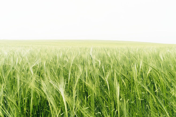 Filed Agriculture Beauty In Nature Cereal Plant Crop  Cultivated Land Day Field Grass Green Green Color Growth Horizon Over Land Idyllic Landscape Nature No People Outdoors Plant Plantation Rural Scene Scenics Sky Tranquil Scene Tranquility Wheat
