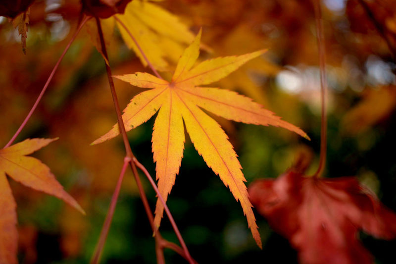 Autumn Autumn Colors Autumn Leaves Japanese Maple Tree Autumn Beauty In Nature Change Change Of Seasons Close-up Day Flower Flower Head Fragility Leaf Leaf Vein Looks Like... Maple Maple Leaf Nature No Budget Photography No People Outdoors Plant Red