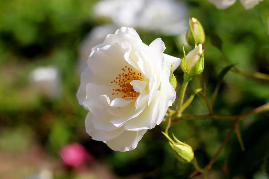 Day Flower Flower Head Flowerporn Flowers Flowers, Nature And Beauty Focus On Foreground Nature Rose - Flower Roses Rose🌹 White Color Wild Rose белая роза белый роза розочка  цветок  цветочек цветы