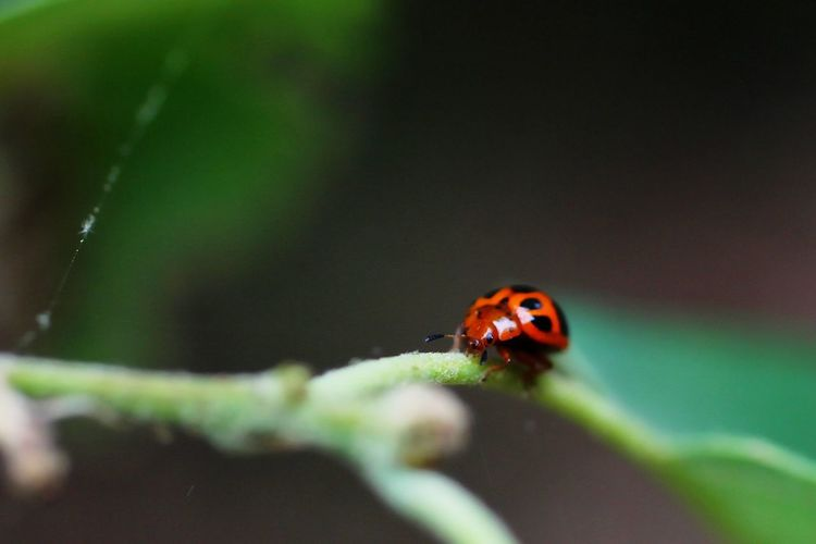 Catarino Catarinas Catarina Bugslife Macro Nature Macro Photography Invertebrate Insect Animal Wildlife Animal Themes Animal One Animal Animals In The Wild Ladybug Beetle Close-up Selective Focus Nature No People Plant Outdoors Plant Part Day Spotted Focus On Foreground Leaf