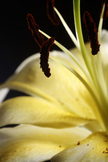 extreme close up of the yellow lily Flower Flowering Plant Freshness Plant Close-up Lily Lily Flower Floral Petal Nature Summer Blossom White Spring Decoration Color Flora Blooming Bright Bouquet Leaf Green Bud Single Object Pretty Elégance Growth Beauty In Nature Fragility Vulnerability  No People Pollen Selective Focus Inflorescence Flower Head Yellow Stamen Focus On Foreground Botany Black Background