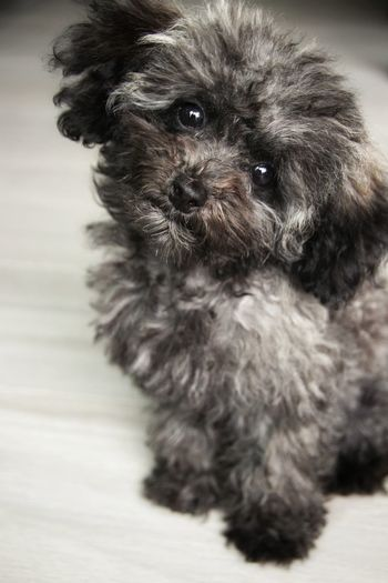 Color Portrait Poodle Love Feelingsad Sleepy Puppy Feelings Pets Portrait Dog Puppy Cute Looking At Camera Animal Hair Close-up