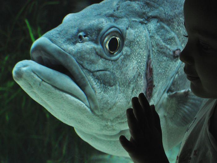 Child Looking At Large Fish In Aquarium