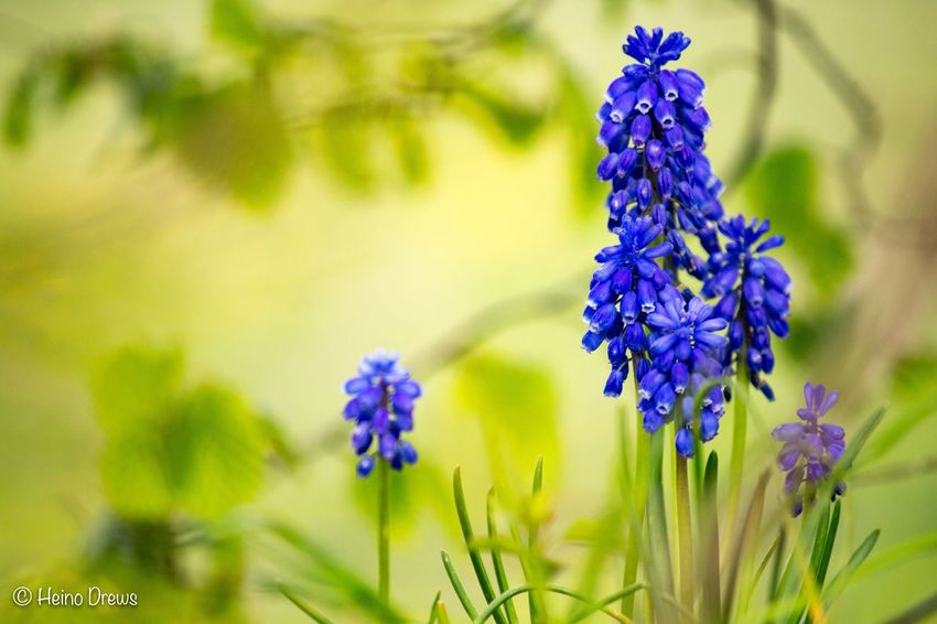 Flower Purple Beauty In Nature Nature Growth Plant Fragility Day No People Focus On Foreground Freshness Blue Close-up Petal Flower Head Outdoors Blooming EOS700D