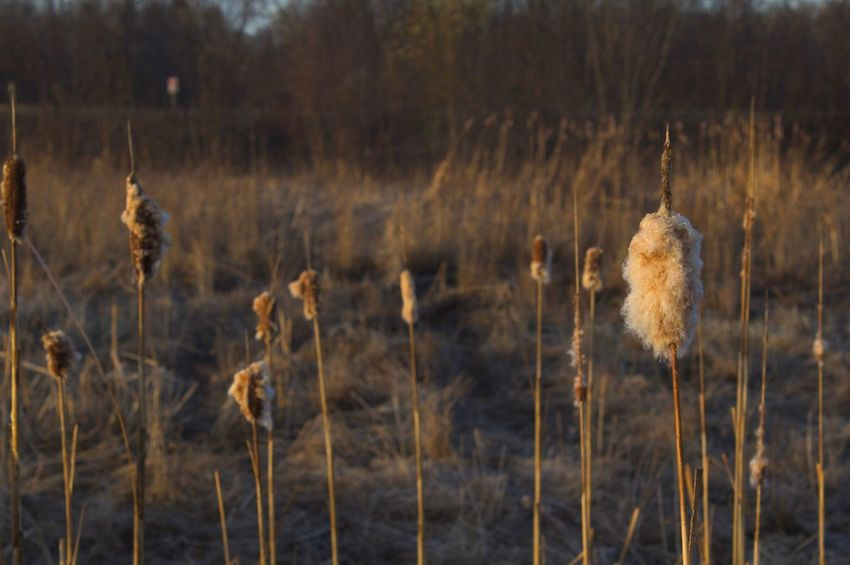 Exploding Cat Tails Sping Is On Its Way EyeEm Nature Lover EyeEmNewHere Oh Canada! Art In Photography Creativity Has No Limits Plant Growth Nature Land No People Field Tranquility Scenics - Nature Cattail Beauty In Nature Focus On Foreground Tranquil Scene Outdoors