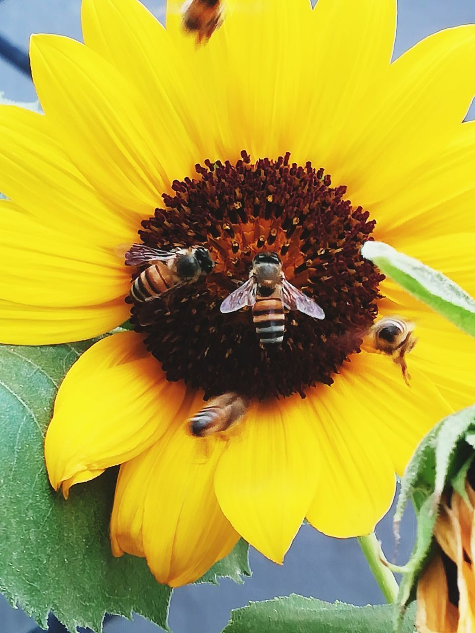 yellow, flower head, invertebrate, animal wildlife, petal, flower, insect, bee, animals in the wild, beauty in nature, fragility, flowering plant, vulnerability, inflorescence, pollen, animal themes, freshness, close-up, group of animals, growth, sunflower, pollination, no people, honey bee
