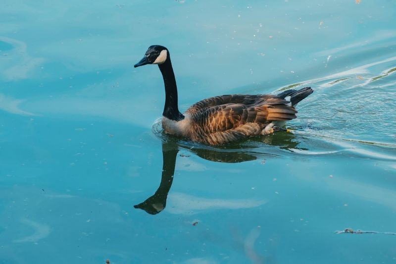 Wild Goose  Animal Themes Animal Animals In The Wild Water Animal Wildlife Vertebrate Swimming Outdoors High Angle View Poultry Waterfront No People Nature Side View One Animal Bird Lake Duck Day