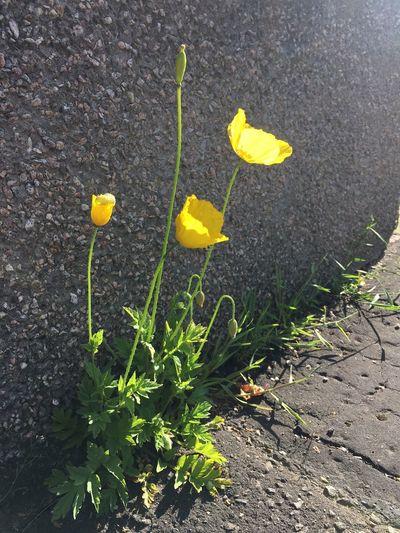 Yellow poppy Yellow Poppy Plant Yellow Growth Nature Flower Day Vulnerability  Sunlight Petal Fragility