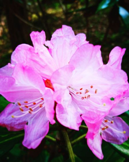 Pink Color Flower Petal Nature Beauty In Nature Fragility Blossom Rhododendron No People Growth Stamen Flower Head Plant Freshness Outdoors Springtime Close-up Day ツツジ、花、ピンク、公園、富士市、岩本山公園
