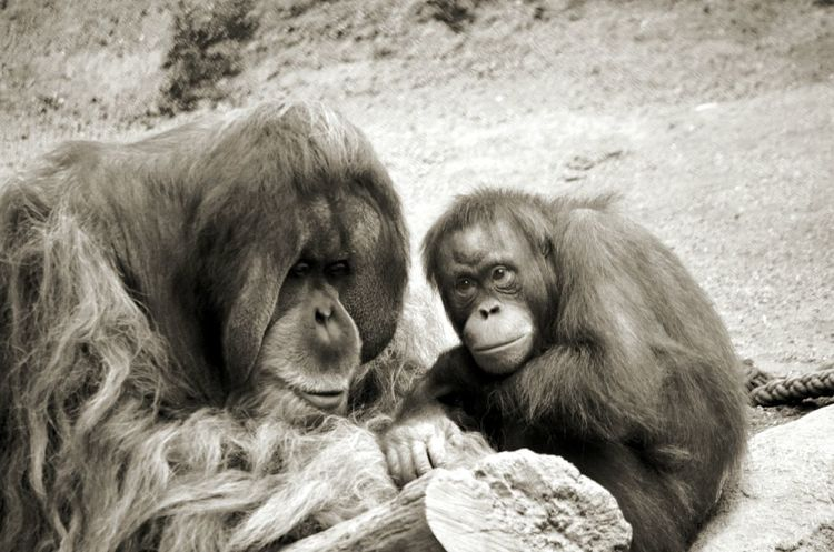Animal Themes Orangutan Primate Monkey No People Togetherness Nature Close-up Portrait Two Animals Zoo Zoo Leipzig Black And White Black And White Photography EyeEmNewHere Premium Collection