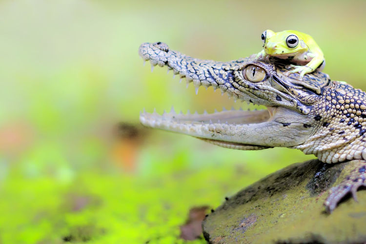 crocodiles and frogs Animal Animal Themes One Animal Vertebrate Animal Wildlife Reptile Animals In The Wild Close-up Animal Body Part No People Focus On Foreground Animal Head  Nature Day Selective Focus Green Color Outdoors Eye Lizard Looking Animal Eye Mouth Open