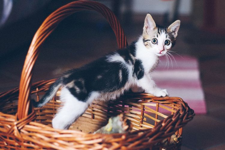 Cat in wicker basket at home