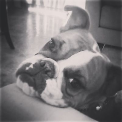 We aren't happy today. Oldenglishbulldog Mypup 3legs Bulldogsworldwide famousbullies famousbulldogs bulldog animallover