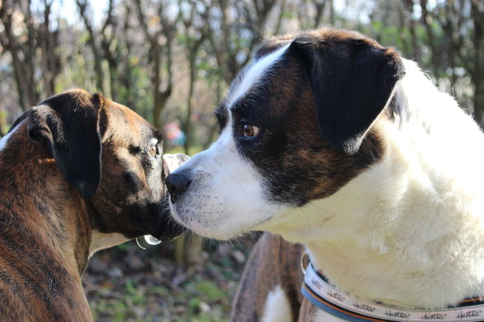Animal Head  Boxer Dogs Boxerlove BóxerWeekend Dog Pets Portrait Two Animals