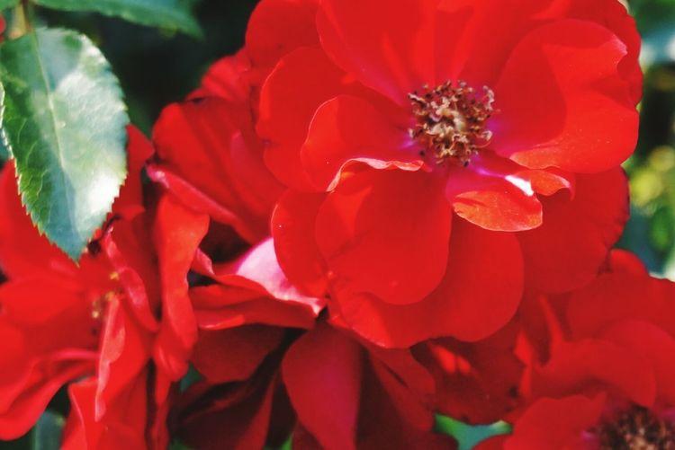 rose Rose -