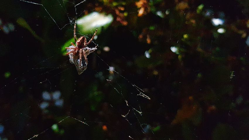 Spider silks up a honey bee Focus On Foreground Spider Web Spider Spiders Spider Webs Close-up Spider Nature_collection Eyenaturelover Fragility Zoology Nature No People Selective Focus Bee 🐝 Bee Bees Silk Arachnid Photography Arachnid Death Garden Spider