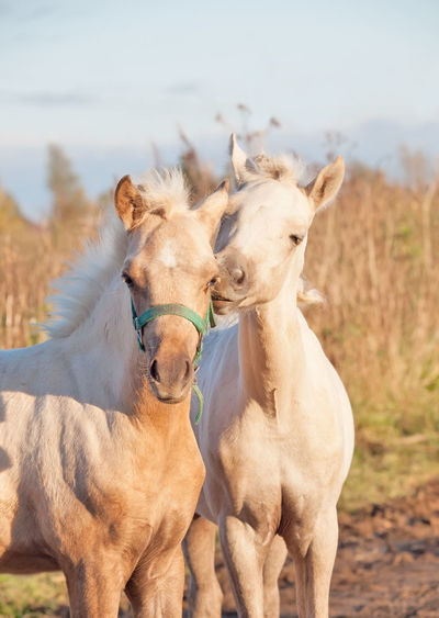 grooming pony foals Animal Themes Close-up Day Domestic Animals Front View Horse Livestock Mammal Mane No People One Animal Outdoors Portrait Sky Standing Working Animal