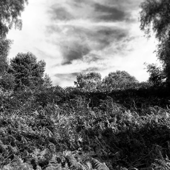 Deer Spotting Deersighting Deer Stag Forest Blackandwhite Tree Tranquil Scene Tranquility Scenics Cloud - Sky Non-urban Scene Beauty In Nature Nature Day Outdoors Solitude WoodLand Cannock Chase Brocton Bracken