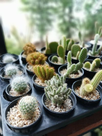 Baby cactus, baby cactuses farm. Cactus Cactus Flower Cactus Garden Cactus Collection Cactuslover Cactus Thorn Close-up Plant Plant Life Moss Aloe Vera Plant Growing Young Plant