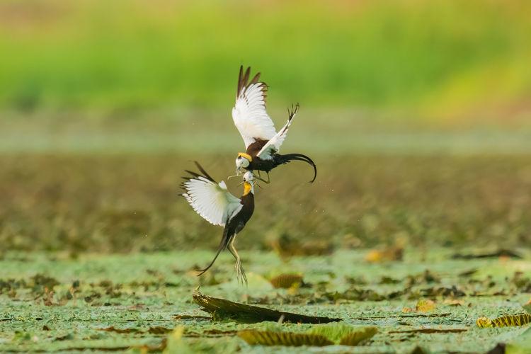 【水雉】高邮湖上的打斗