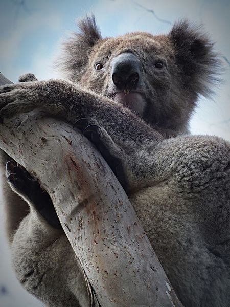 EyeEm Best Shots - Nature A View Of Wildlife EyeEm Animal Lover Animals Koala EyeEm Nature Lover Nature_collection Wildlife EyeEm Gallery Eyem Best Shots