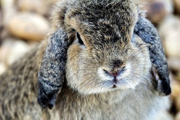 One Animal Animal Themes Close-up Pets No People Mammal Domestic Animals Day Portrait Indoors  Nature Rabbits 🐇 Pebble Rabbit - Animal Rabbit Outdoors Nature