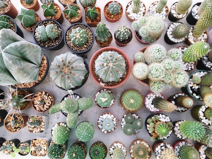 Cacti Variation Large Group Of Objects Abundance No People Cactus High Angle View Arrangement Full Frame Plant Nature Cacti Garden Cactus Garden Cactus