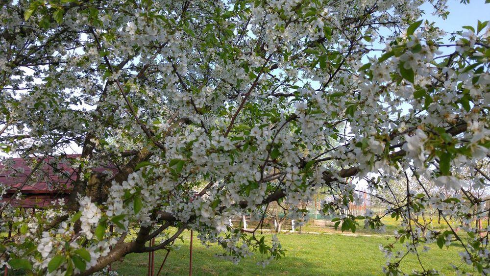Showcase April Cherry Blossoms Cherry Trees Tree Flowers Spring Flowers Spring Cherry Blossom