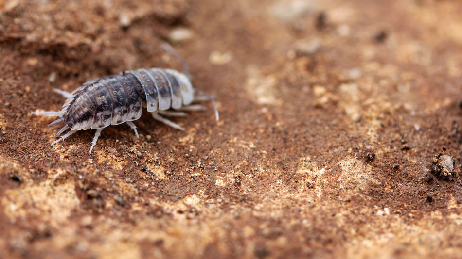 A woodlouse shedding its exoskeleton in Essaouira, Morocco Crustacea Crustacean Isopod North Africa Oniscidea Africa Animal Animal Themes Animal Wildlife Animals In The Wild Close-up Day Exoskeleton Field Invertebrate Land Nature No People One Animal Outdoors Shed Solid Wildlife Woodlouse Zoology