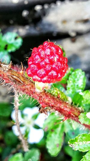 Red Berry Not Ripe Black Berry DewBerRy Raspberry Wild Blackberry Macro Beauty Macro Photography Macro Nature Micro Macro Photography Macro Beauty Plants Very Red Berry No Edit/no Filter
