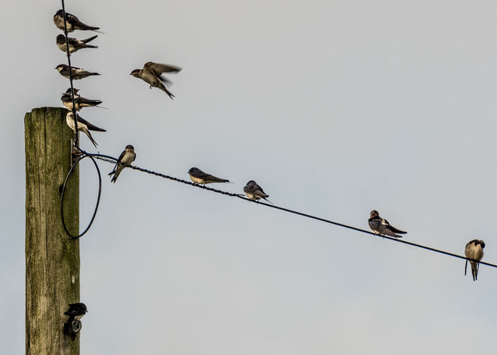 Animal Animal Themes Animal Wildlife Animals In The Wild Bird Cable Clear Sky Connection Copy Space Day Electricity  Flock Of Birds Group Of Animals House Martins Low Angle View Nature No People Outdoors Perching Power Line  Power Supply Sky Tayvallich Telephone Line Vertebrate