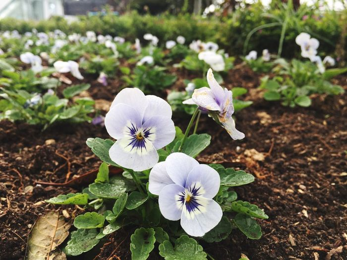 Flower Flower Head Petal Plant Growth Fragility Beauty In Nature Nature Freshness Blooming No People Day Outdoors Close-up Periwinkle Springtime Petunia