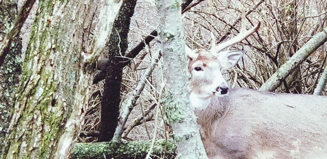 deer Deer Woods